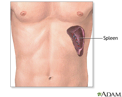 Spleen anatomy