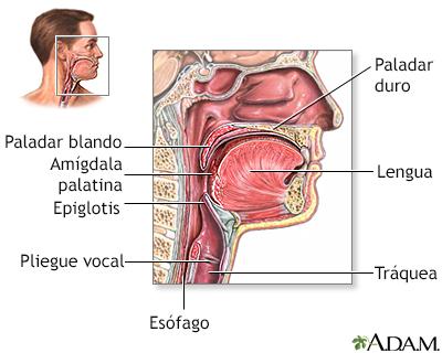 Fotos anatomia da garganta 28