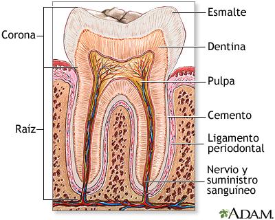 Anatomía del diente