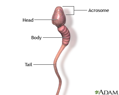 And then parts of the sperm cell fast
